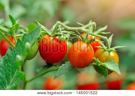 Ripe Cherry tomatoes growing on the vine
