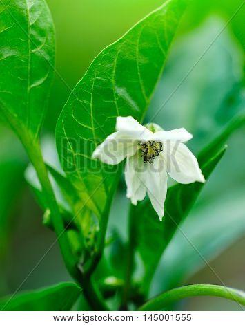 Green Bell Pepper's Cute White Flower (capsicum Annuum)