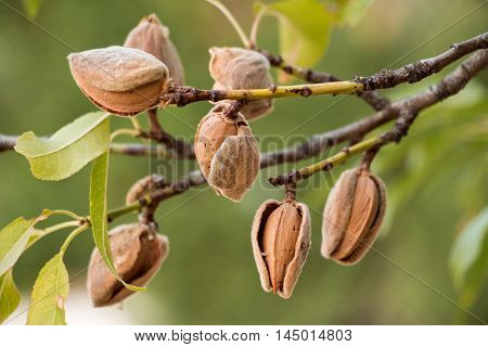 Ripe almond nuts on the branches of almond tree in early autumn. Ripe almonds on the tree branches. Horizontal. Daylight. poster