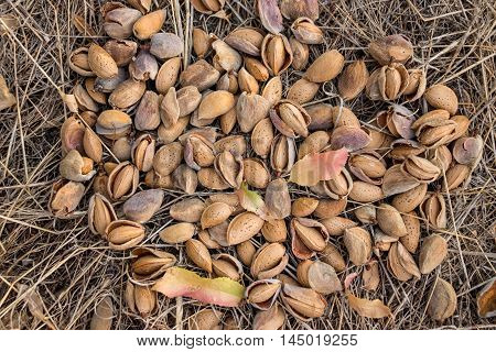 Almonds are scattered on the ground during harvesting in early autumn. Almonds background. Horizontal. Daylight. Top view.