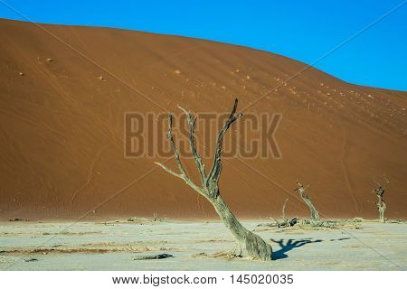 Picturesque ancient dried-up tree. The dried lake Deadvlei. Namibia, ecotourism in Namib-Naukluft National Park