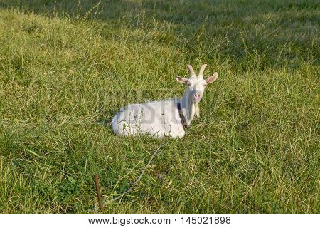Goats Grazing In The Meadow