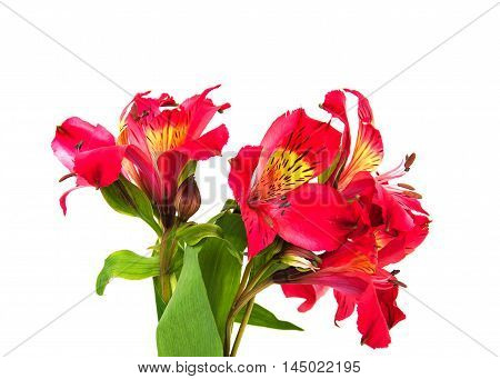 alstroemeria flowers isolated on a white background