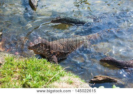 A few huge Monitor lizards in the water feed on with tuna fish - Hikkaduwa, Sri Lanka