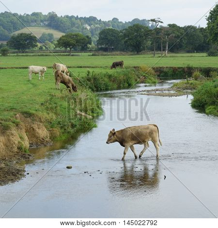 Cows on a farm around river Axe in East Devon England