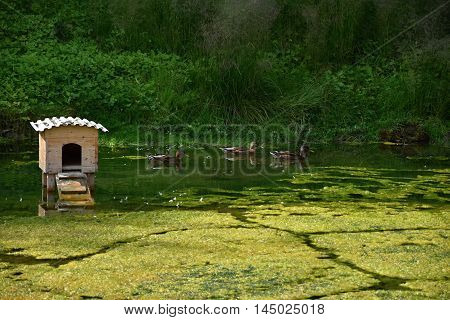 Wooden house on a nest on the pond. Wild ducks floating on a pond.
