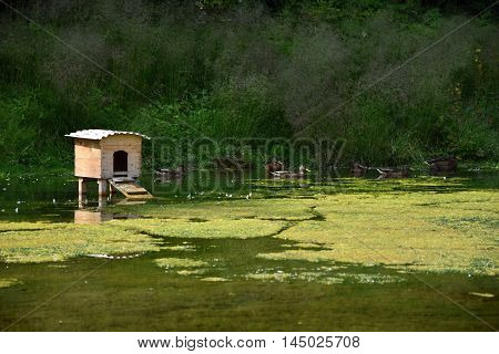 Wooden house on a pond. Wild ducks floating on a pond.