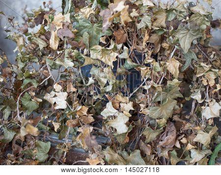 Dry Ivy Plant