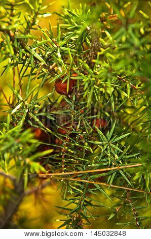 Detail of juniper evergreen conferious tree on mountain Troglav at late summer, west Serbia