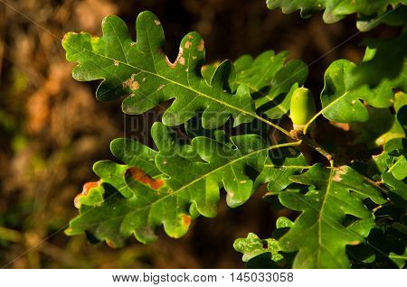 Foliage and acorn of oak tree on mountain Troglav at late summer, west Serbia