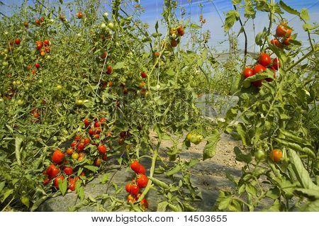 Cultivo de tomate de invernadero en temporada de verano
