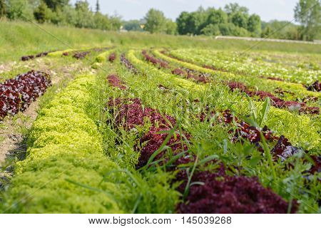 colorful salad mix on large plantation of vegetable farmers
