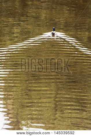 Mallard duck swim in wavy water. Beauty in nature. Vertical composition. Animal scene.