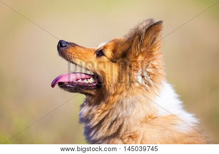 a looking shetland sheepdog in a portrait