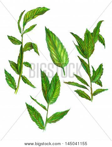 Raster colorful image of some mint leaves isolated on white. Design element illustration for healthcare medical herbal natural themes. Textile. Printed production.