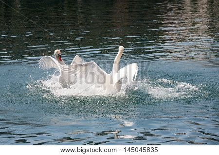 The fight of two dominant swans takes place on the waters of the River Reuss in Lucerne in Switzerland