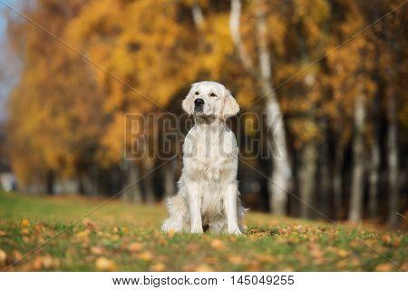 adorable golden retriever dog sitting outdoors in autumn