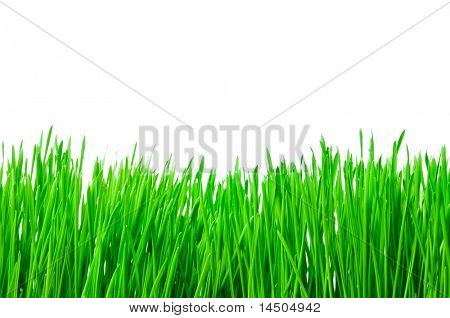 Macro shot of a fresh green grass in a meadow isolated on white background