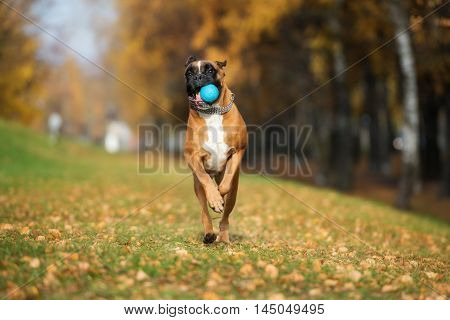 happy boxer dog running outdoors in autumn