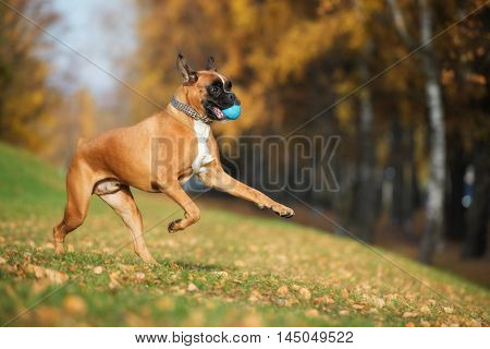 red boxer dog playing with a ball outdoors in autumn
