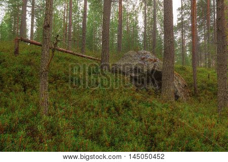 Boulder in the pine forest in rainy day