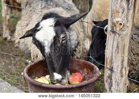 Sheep eat apples from the bucket over the fence