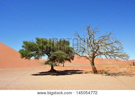 Dead and alive camel thorn trees against blue sky and red dunes in Sossusvlei Namib-Naukluft National Park at sunrise Namibia Africa.