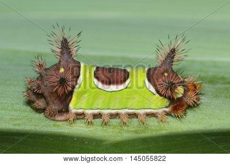 Saddleback Caterpillar (Acharia stimulea) walking on a green leaf