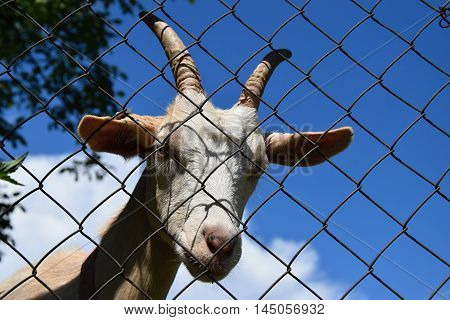 The head of a white goat behind a wire fence