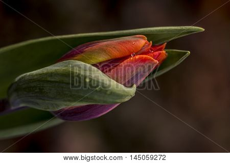 Tulip Flower Spring Blossom Garden Floral Impression