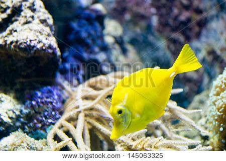 Yellow tang Zebrasoma flavescens, horizontal image, color image