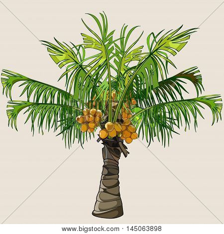 cartoon small spreading palm tree with coconuts