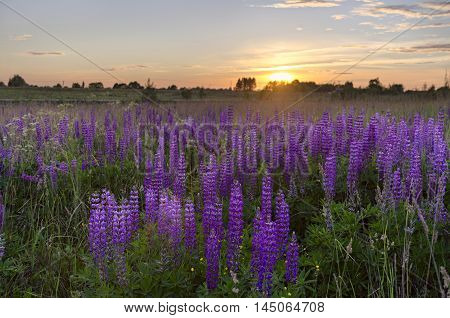 Sunset over meadow of lupine. Filed of lupinus. Meadow of lupinus