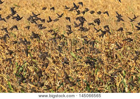 starlings flying in the background of corn fields, autumn migration, hundreds of birds flying, unique moment, a bird in flight