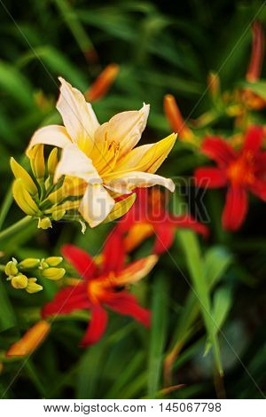 Yellow and red daylilies on a green background. Bright colours