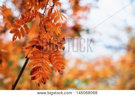 autumn rowan-tree with rowanberry and sunrise