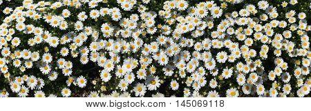 Daisy. Margaret Flower Garden Texture Background Panorama