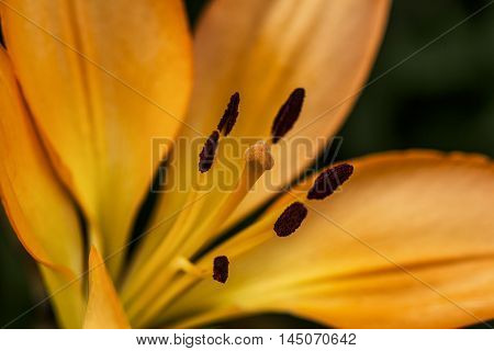 Lilium Lily Flower Portrait Blossom Garden Impression