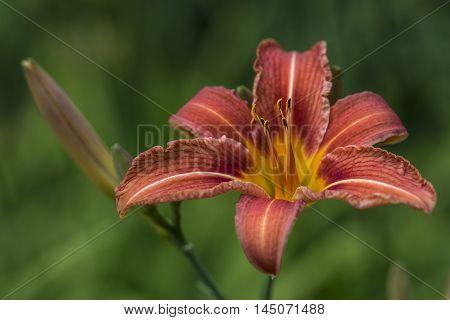 Lily Flower Portrait Garden Blossom Floral Impression