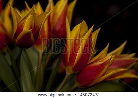 Tulips Flower Dance Bouquet Blossom Floral Imression