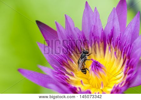 close up of the bee at the purple lotus flower in the pand