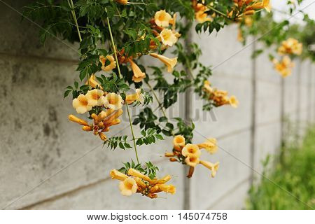 Campsis radicans flavus with yellow flowers on a gray fence. Campsis radicans flavus with yellow flowers on a gray fence. Thick green branches hang down.