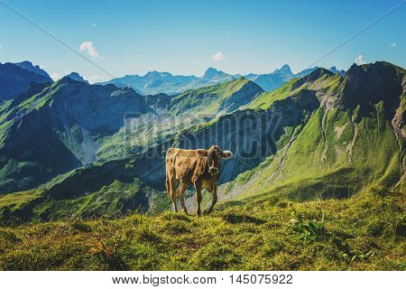 Stray cow walking and grazing on green grass near mountain valley in Allgau Germany