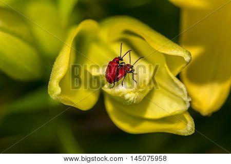 Scarlet Lily Beetle Lilium Flower Summer Impression
