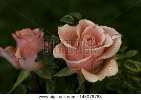 Rose Flower Pastel Nostalgie Blossom Floral  Impression
