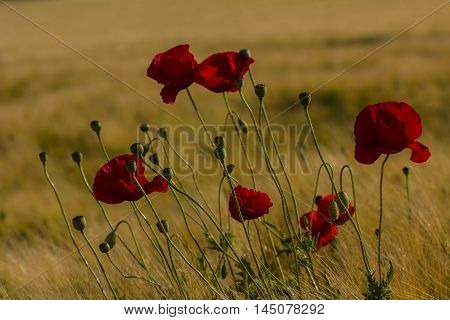 Poppy Country Landscape Flower Summer Blossom Floral Impression
