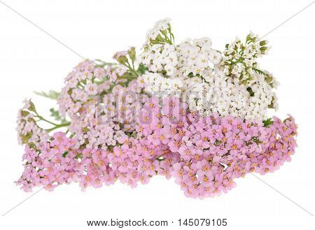 White And Pink Yarrow