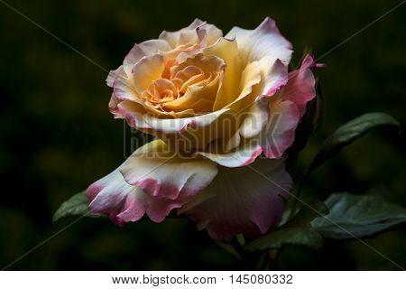 Rose Flower Garden Nostalgia Blossom Floral Impression