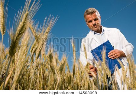Mature technician holding and examining a wheat ear during a quality control in field, low angle view