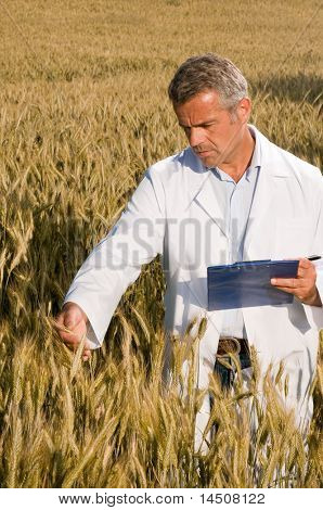 Mature satisfied technician examining wheat ears during quality control in field
